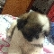 Shih tzu- femea tricolor 3 meses